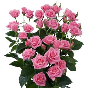eileen_roses