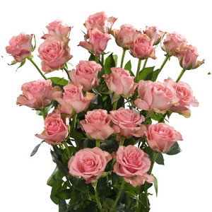 loccitana_roses