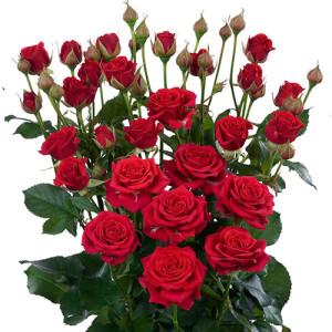 mirabel_roses
